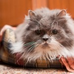 Old Persian cat