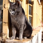 cat_grey_old